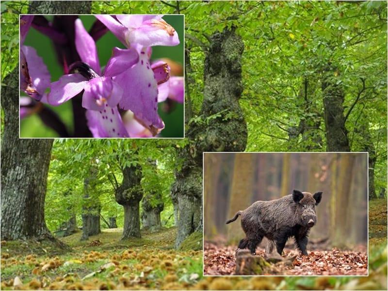 Le orchidee del Roccamonfina ed un cinghiale